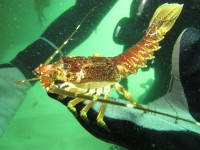 Cape Rock Lobster