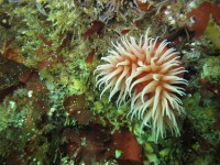 False Plum Anemone