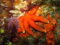 Orange Spiny starfish