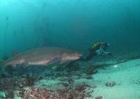 scuba dive with cow sharks021