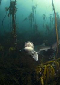 scuba dive with cow sharks035