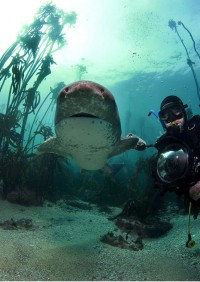scuba dive with cow sharks037