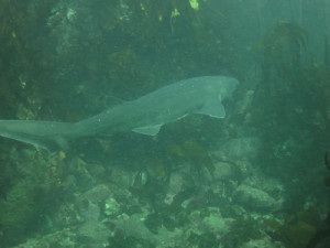 Spotting Cow Sharks