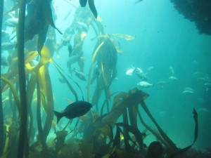 Hottentots fish in Kelp forest