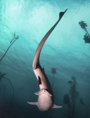 scuba dive with cow sharks023