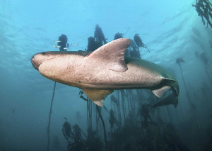 scuba dive with cow sharks027